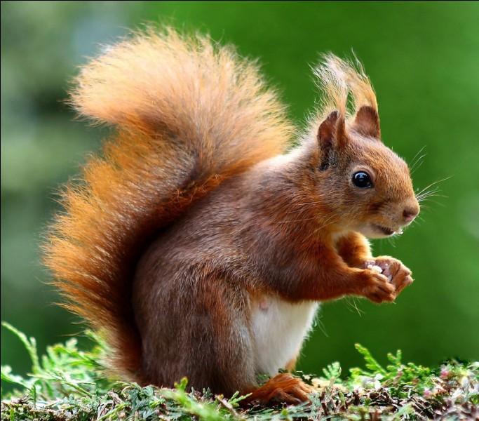 En moyenne, l'écureuil mesure (queue comprise)...