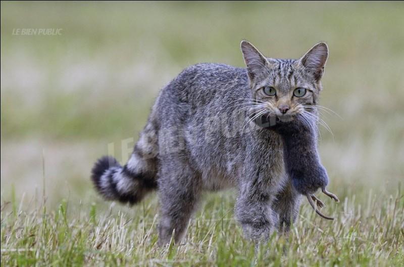Où vit le chat sauvage ?