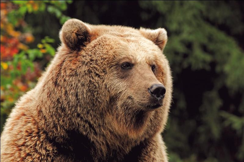 Combien pèse l'ours brun ?