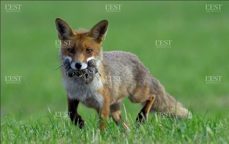 À quelle famille les renards appartiennent-ils ?