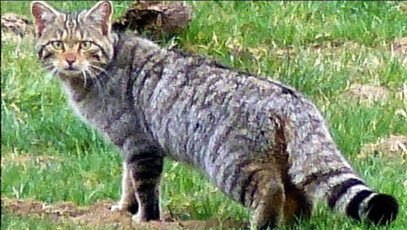 De quelle couleur est la rayure sur le dos du chat sauvage ?