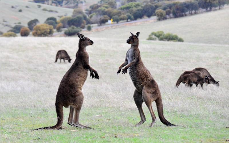 Quel est le plus grand de ces deux marsupiaux ?