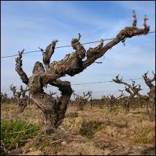 Vous avez sur cette image un ______ de vigne.