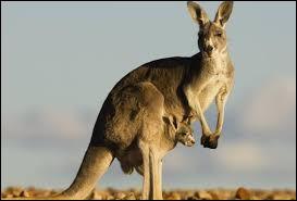 À quel ordre de mammifères appartient le kangourou ?