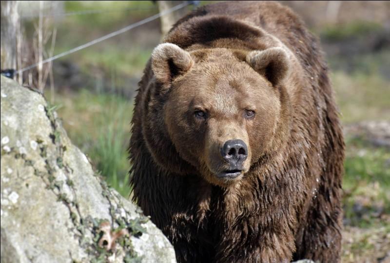 Pourquoi la peau est-elle noire en dessous de la fourrure d'un ours ?