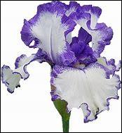 Quelle est la fleur que Kaito offre à Lucie ?