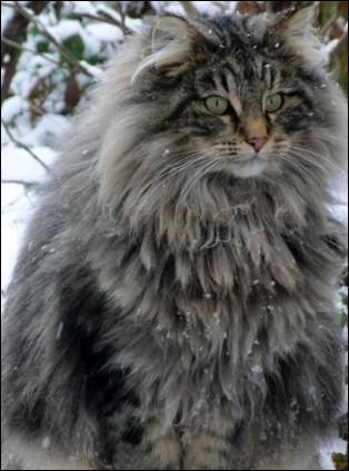 Les chats bleus existent-ils ?