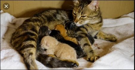 Pendant combien de temps la chatte doit-elle allaiter ses petits ?