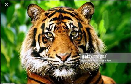 Le tigre est-il le plus grand cousin du chat ?