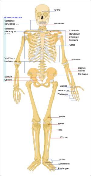 Comment s'appelle l'os du bras ?