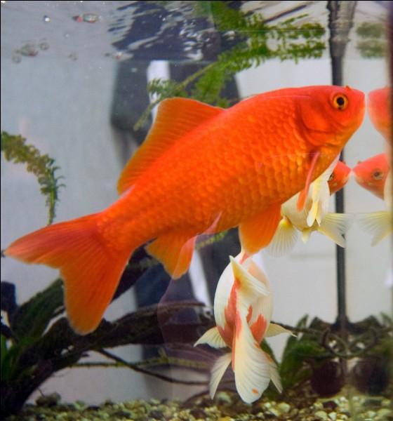 Les poissons rouges ont une mémoire de 3 secondes.