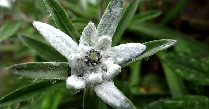 Cette plante vivace mesure de 20 à 50 cm de haut.