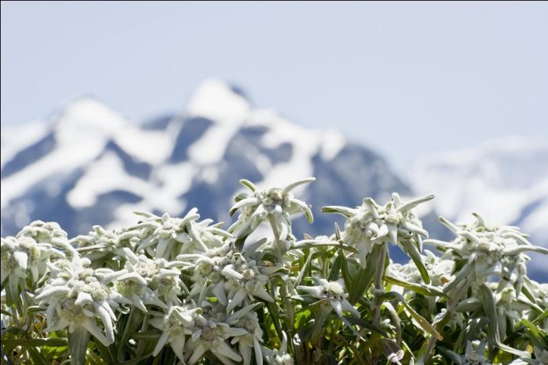 """Edelweiss"" signifie littéralement ""blanc noble"" en allemand."