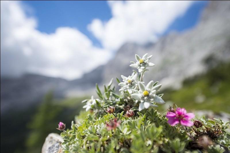 L'edelweiss pousse à plus de 1 500 mètres d'altitude.