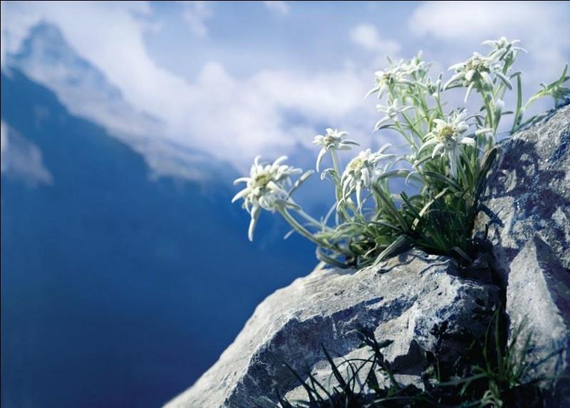 On peut trouver l'edelweiss dans les montagnes d'Europe, d'Amérique du Nord et même d'Afrique !