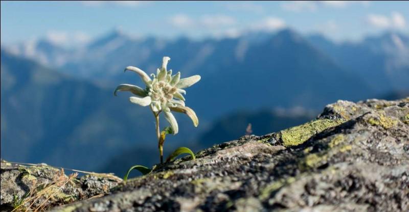 L'edelweiss est une plante toxique.