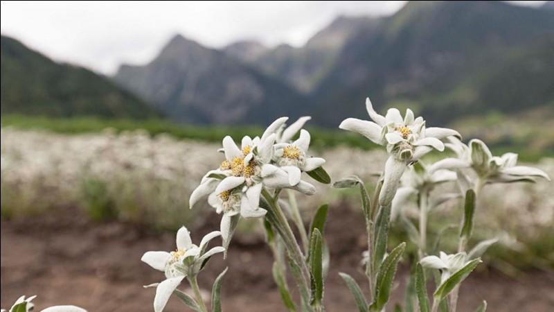L'edelweiss est l'emblème des Alpes, il y représente la pureté et l'amour.
