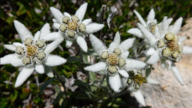 V/F (6) - L'edelweiss