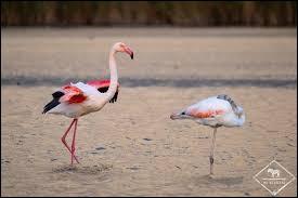 Une troupe de flamants roses est surnommée ...