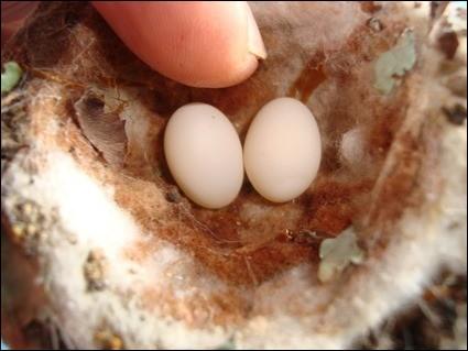 Voici les plus petits œufs d'oiseaux.De quel animal sont-ils ?