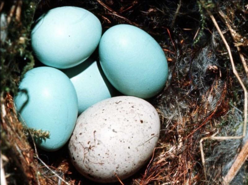 À quel animal sont les œufs bleus ?