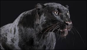 """""""Noir c'est noir"""" : Est-ce une chanson de Johnny Hallyday ?"""