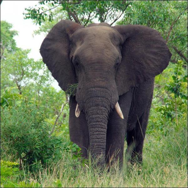 Les éléphants d'Asie ont été gardés en captivité et dressés par les humains pour la première fois il y a combien d'années ?