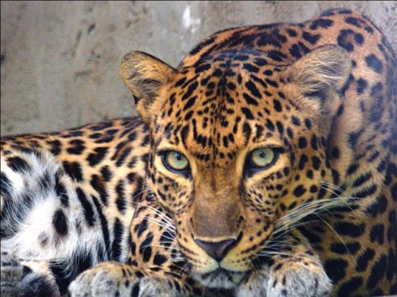 Avec quoi les mères léopards recouvrent-elles leurs tanières pour garder leurs petits au chaud ?