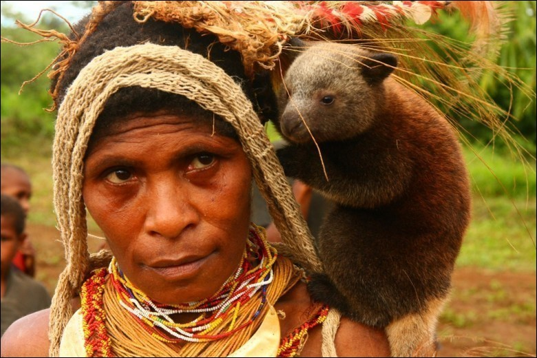 """La chasse mais surtout la déforestation sont à l'origine de la disparition probable de ce marsupial qui évolue dans les forêts tropicales de Nouvelle-Guinée et dans l'extrême nord-est du Queensland en Australie. Il est considéré en """"statut critique"""" par le WWF. Sa population fut rabotée de 80% ces 30 dernières années."""