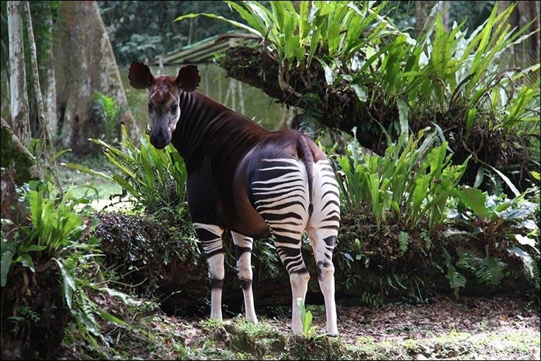 On ne trouve ce mammifère ruminant qu'au Congo. Devenu célèbre dans le monde occidental avec la colonisation, il est sur la liste rouge des espèces menacées. Il en reste cependant entre 10 et 20 000 en Afrique.