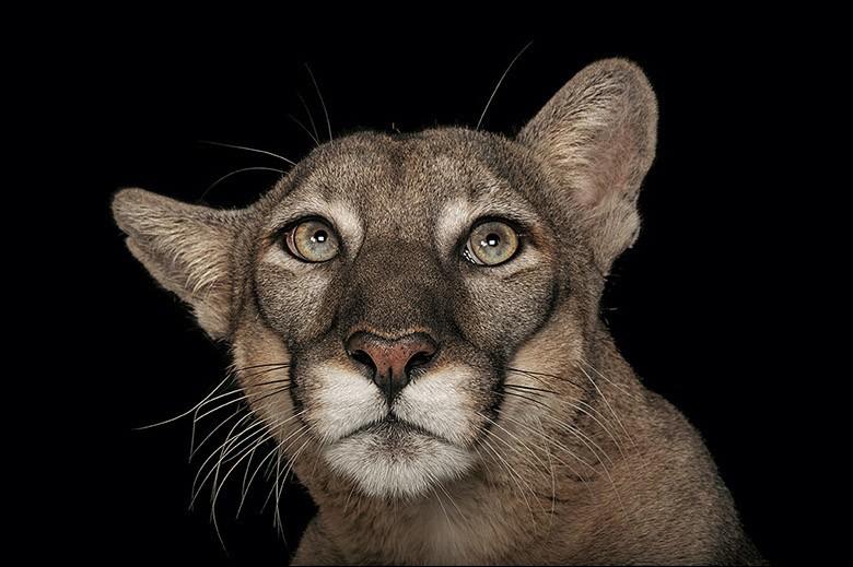 Cet État des États-Unis met tout en œuvre pour tenter de sauver l'espèce dont le nombre diminue dramatiquement. Il en resterait environ 150. Son cousin, le Puma, est officiellement disparu dans la région.