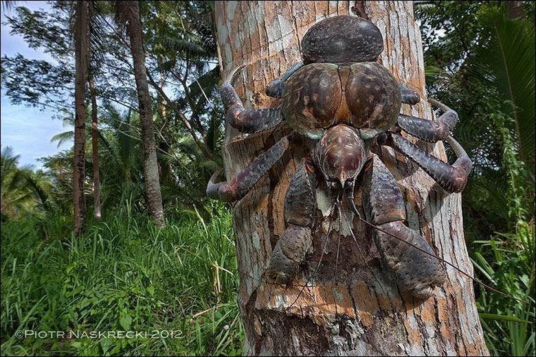 Il fut longtemps chassé sur ses territoires jusqu'à devenir une espèce protégée. Crabe terrestre, il vit sur les îles du Pacifique mais ne va pas dans l'eau. Muni de poumons, il peut grimper aux arbres et ses pinces suffisent largement à couper un doigt humain en une fraction de seconde.