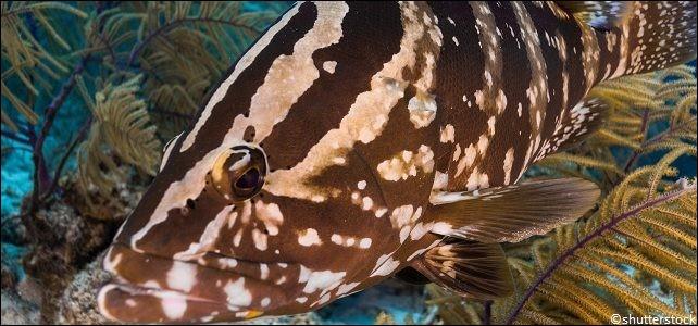"""La situation est dramatique pour ce poisson de récif vivant dans les eaux tropicales des Caraïbes et qui a été pêché en abondance au cours des dernières décennies, souvent en pleine saison de reproduction de l'espèce, qui est désormais classée """"en danger critique"""" d'extinction."""