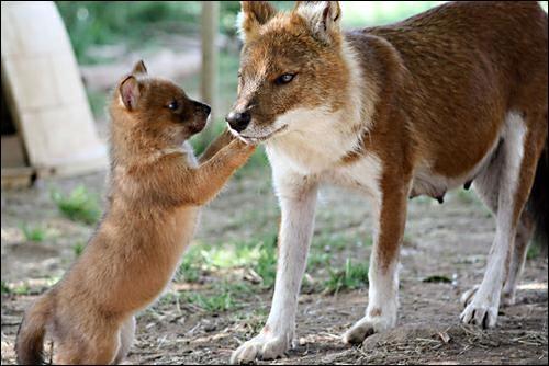"""Ce canidé aux allures de loup et de renard roux est une espèce """"en danger"""", d'après l'Union Internationale pour la Conservation de la Nature (UICN). Partout sur son aire de répartition, il voit en effet sa population sauvage décliner."""