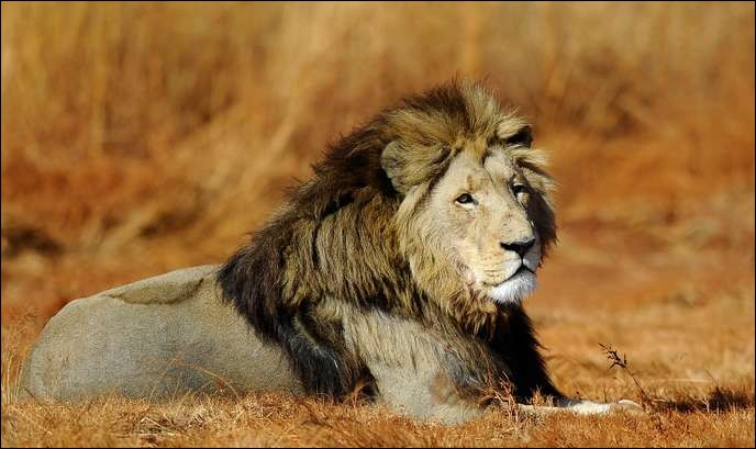 Quel est le nom scientifique du lion ?