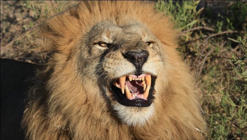 Le lion se nourri de combien de kg de viande par jour ?