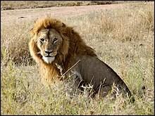 Dans la troupe, se sont les lionnes qui chassent ou les lions ?