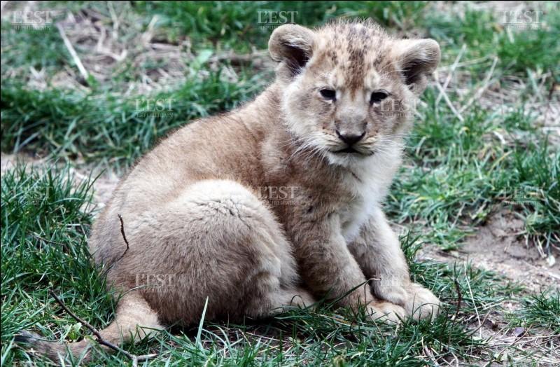 À la naissance, les lionceaux ont le pelage...