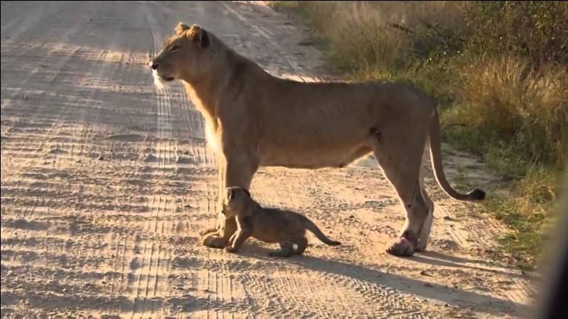 Combien de kg pèse une lionne ?