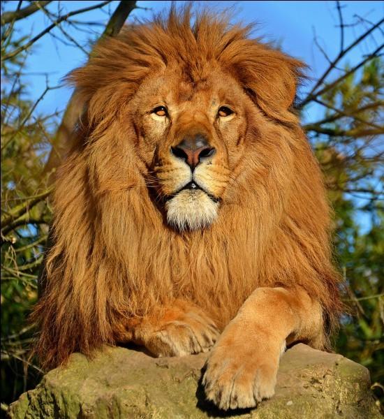 Connais-tu bien le lion ?