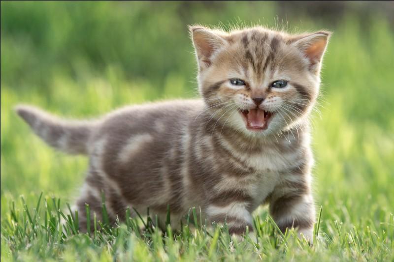 Combien de dents ont les bébés chatons ?