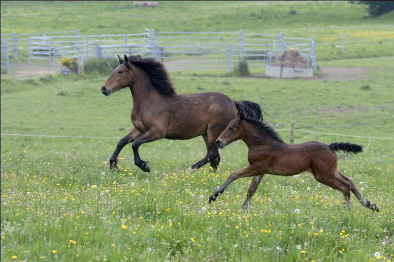 Quelle vitesse peut atteindre le cheval ?