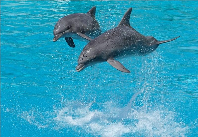 Quelle est la longueur du dauphin ?