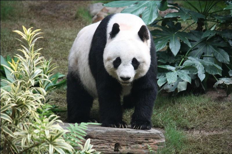 Jusqu'à quel âge environ vivent les pandas ?