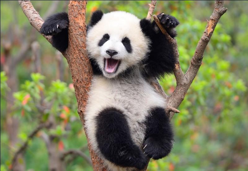 Quelle est la taille d'un panda ?