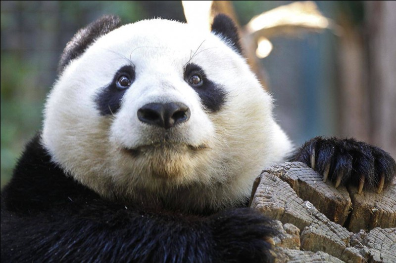 Le panda hiberne-t-il ?