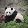 Les pandas savent-ils nager ?