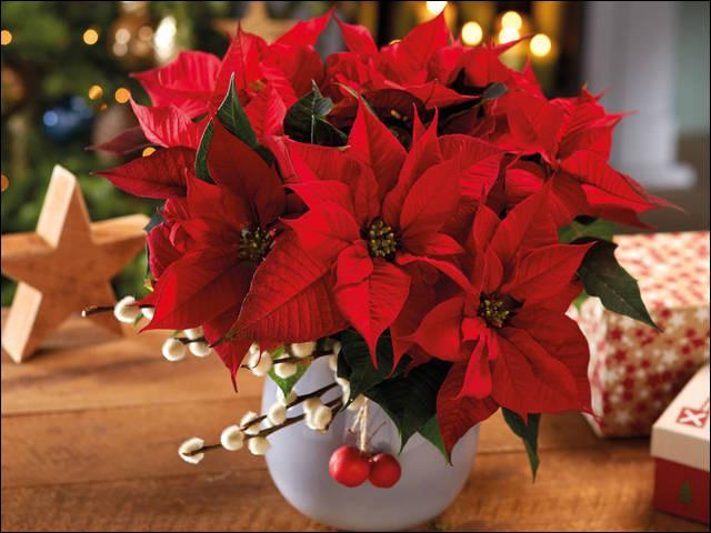À quelle période festive de l'année associe-t-on cette fleur ?