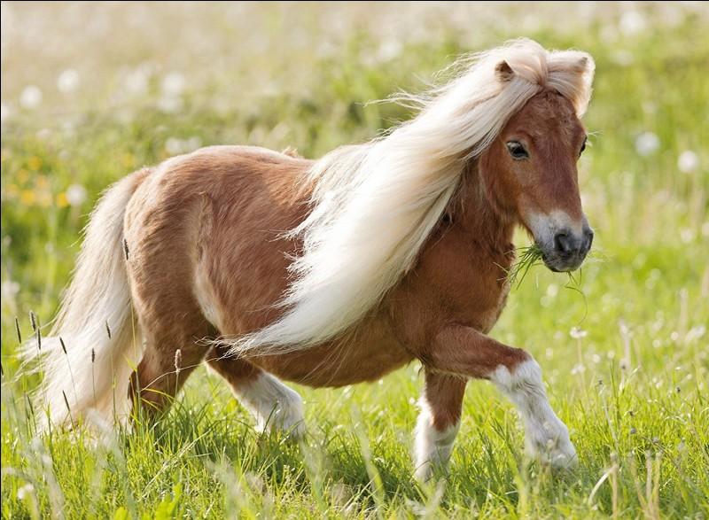 Quelle est la hauteur maximum d'un poney ?