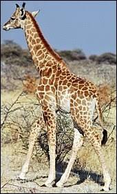 De quelle couleur la langue de la girafe est-elle ?